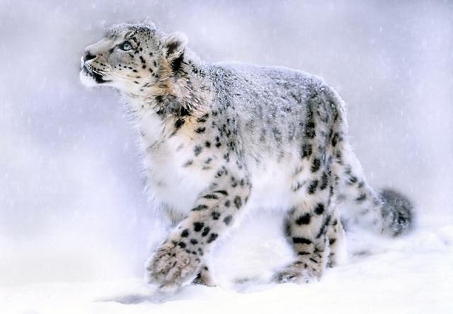 10-snow-leopard